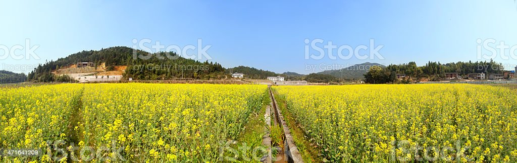 Beautiful spring panoramic shot with blooming canola field royalty-free stock photo