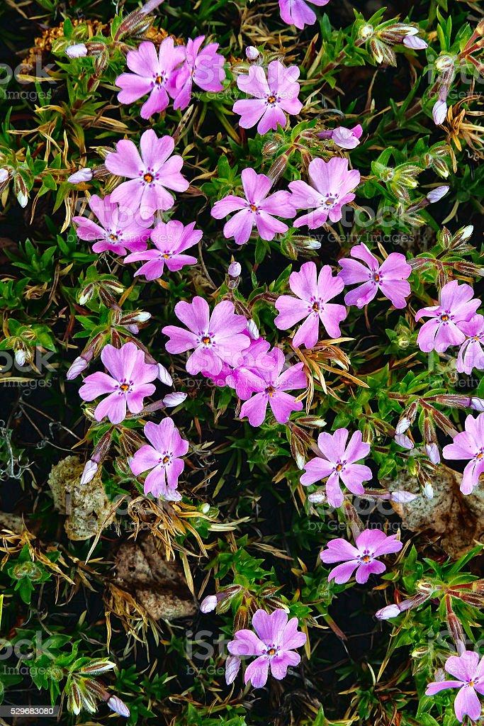 Beautiful spring phlox stock photo