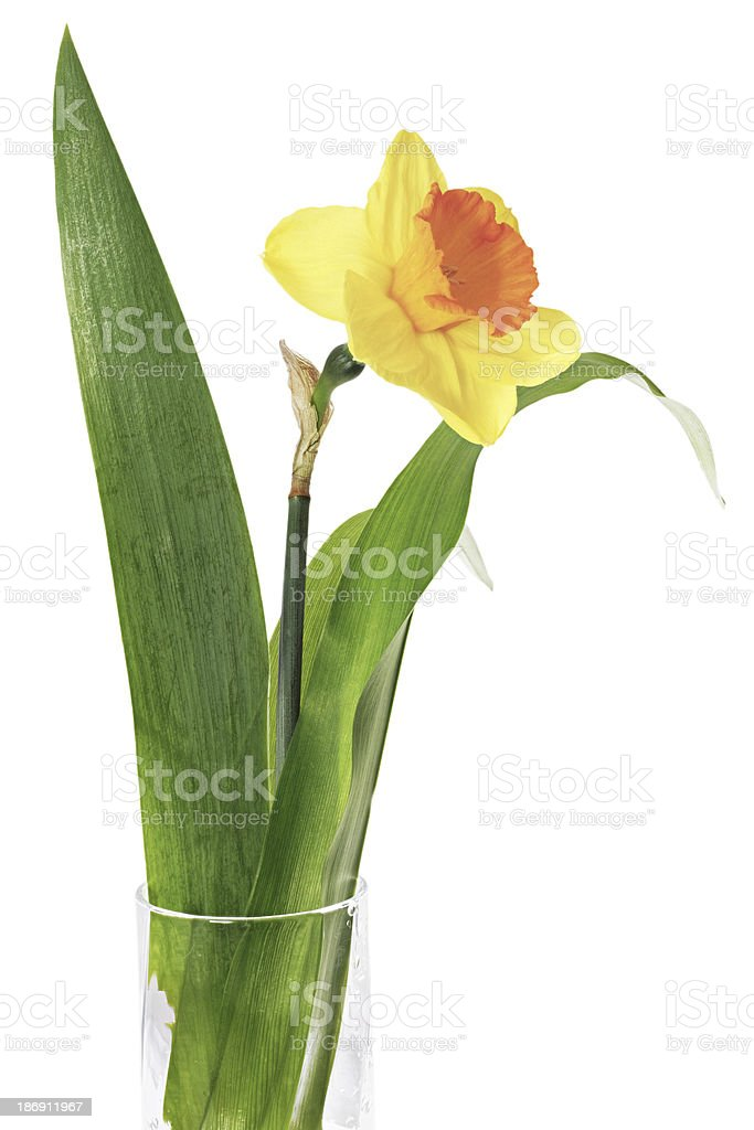 Beautiful spring single flower in vase: orange  narcissus (Daffo royalty-free stock photo