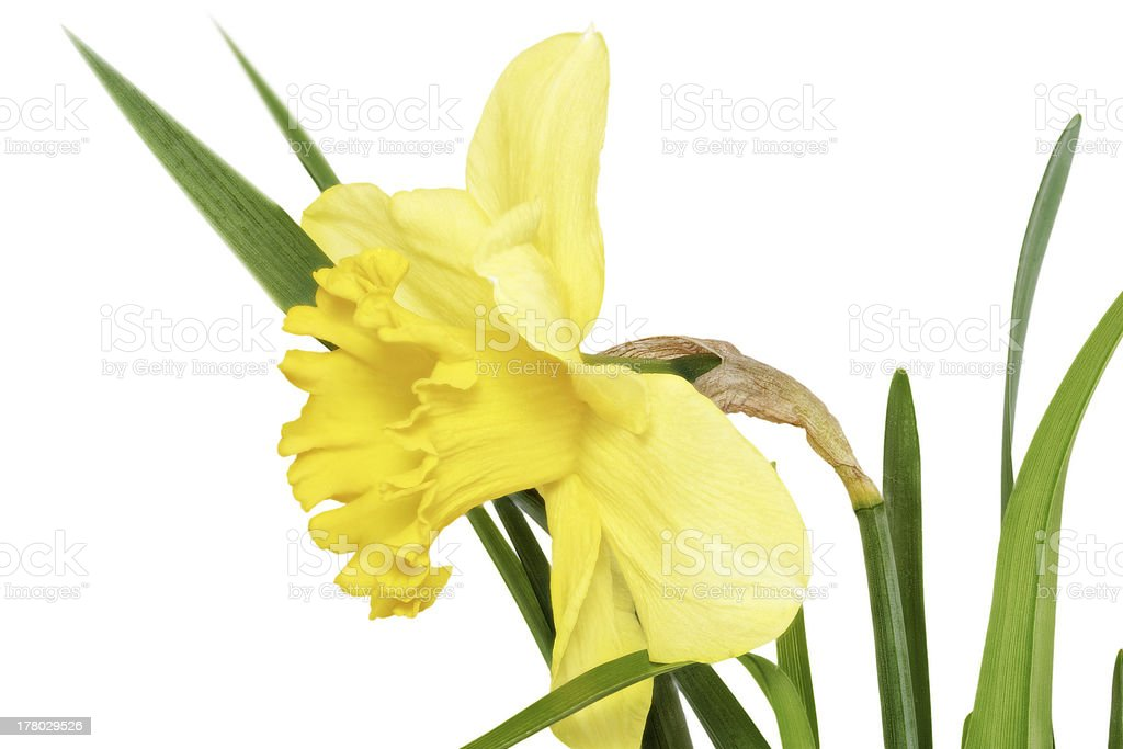Beautiful spring single flower: yellow narcissus (Daffodil) royalty-free stock photo