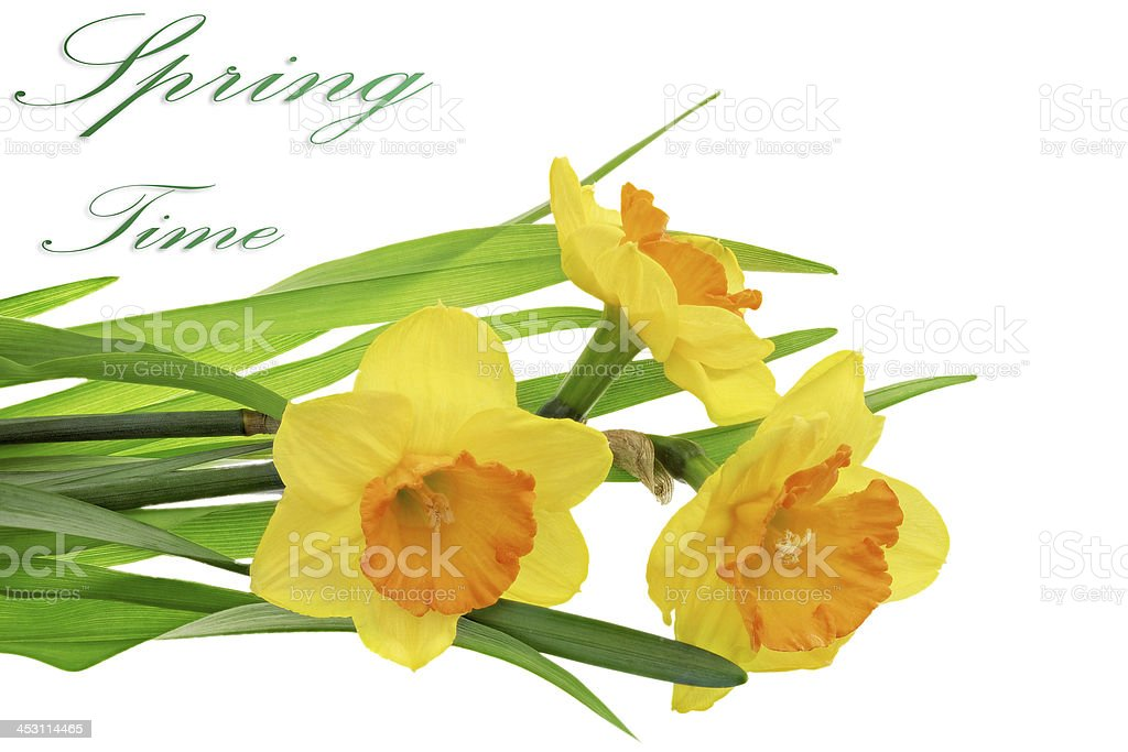 Beautiful spring  three flowers : orange narcissus (Daffodil) royalty-free stock photo