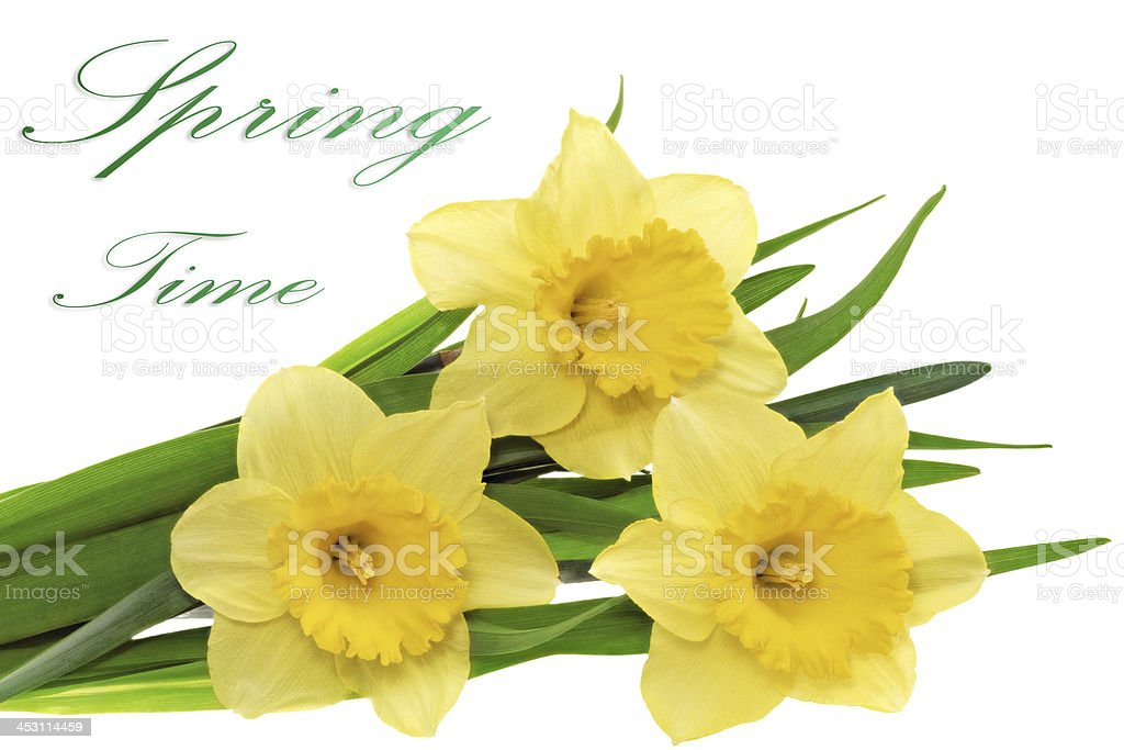 Beautiful spring  three flowers : yellow narcissus (Daffodil) royalty-free stock photo