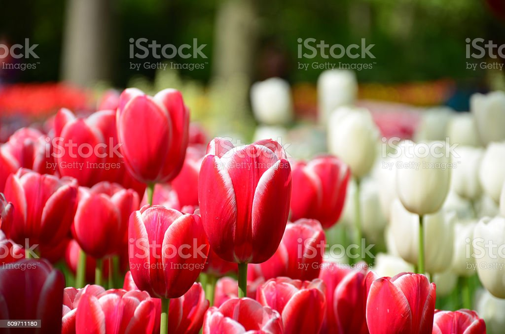 Beautiful spring tulip flowers in Keukenhof park in Netherlands (Holland) stock photo