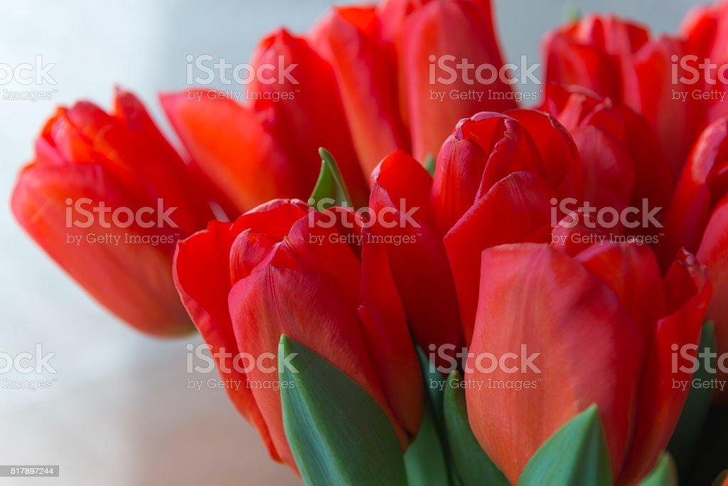 Beautiful Spring tulip flowers stock photo