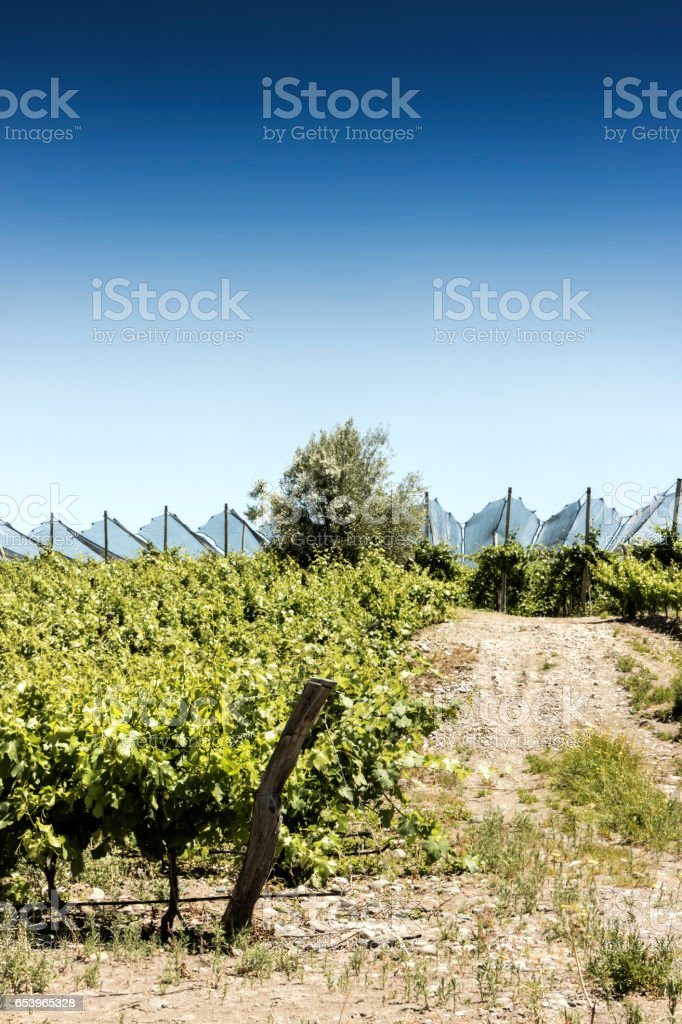 Beautiful springtime at vineyards stock photo
