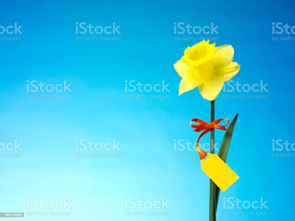 Beautiful Springtime Daffodil royalty-free stock photo