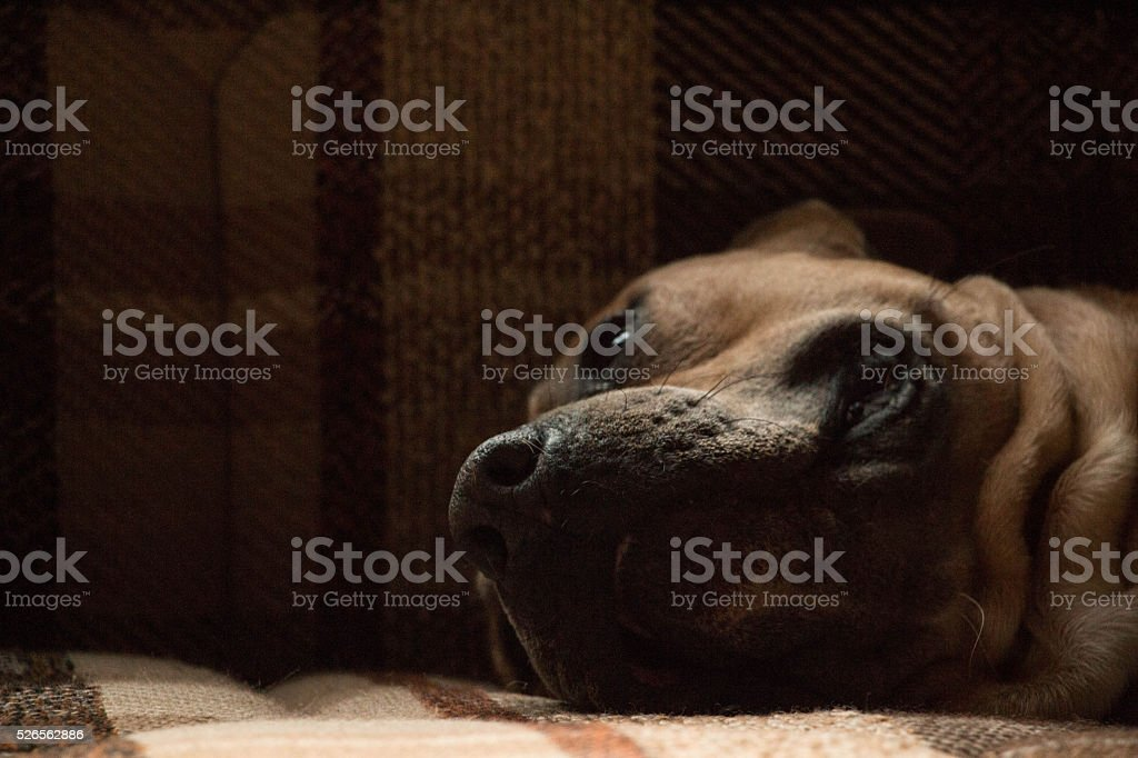 beautiful stafford dog lying down on vintage bed stock photo