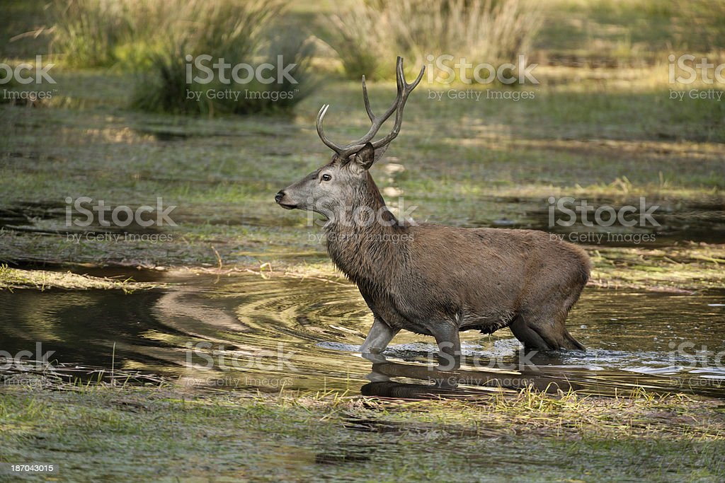Beautiful Stag Walking In Water stock photo