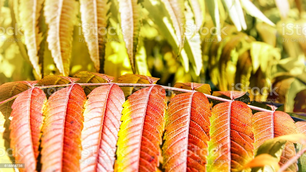 Beautiful Staghorn Sumac bush plant colorful leaves in autumn season stock photo