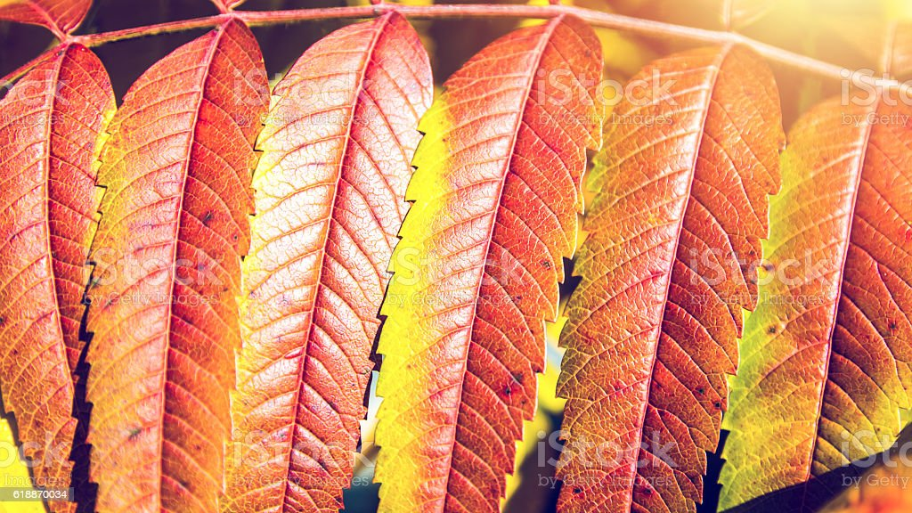Beautiful Staghorn Sumac bush plant colorful leaves in autumn season stock photo