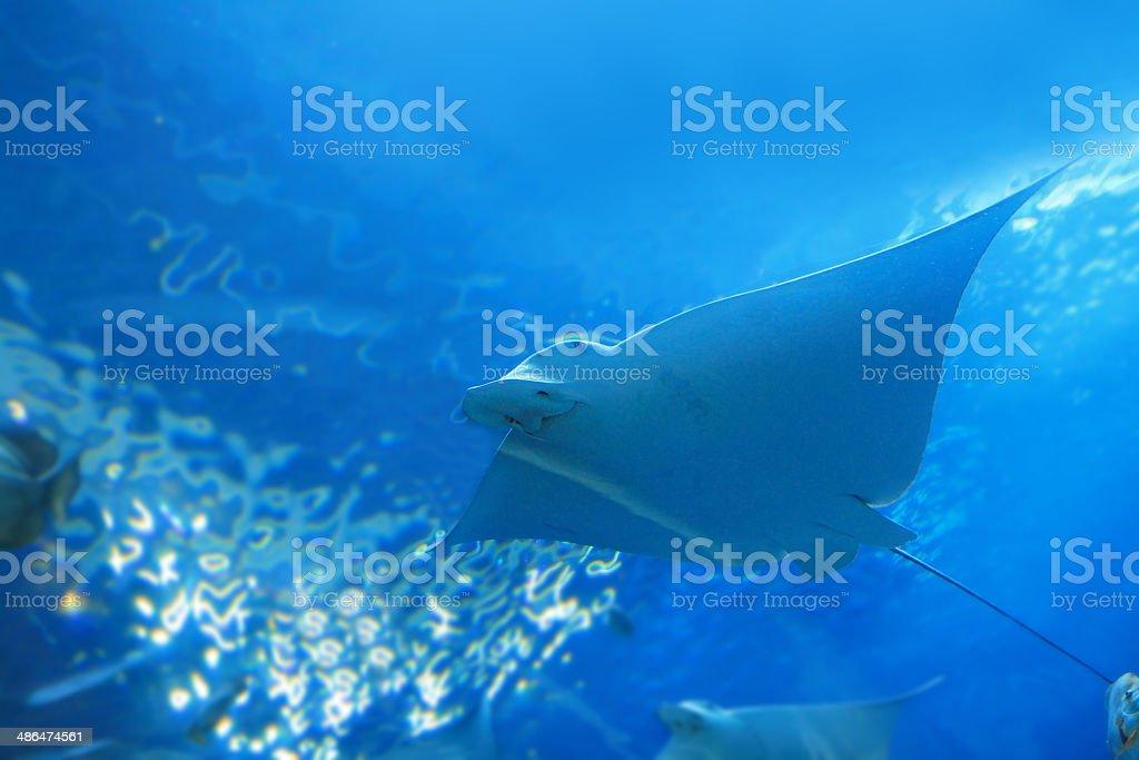 beautiful stingray stock photo