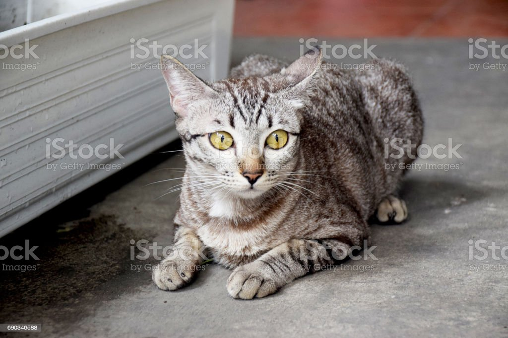 Beautiful striped cat on a park see something 0952 stock photo