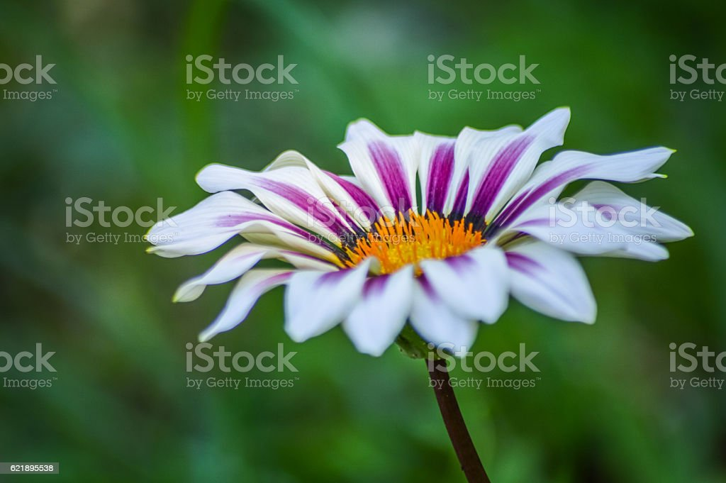 beautiful striped gazania profile view stock photo