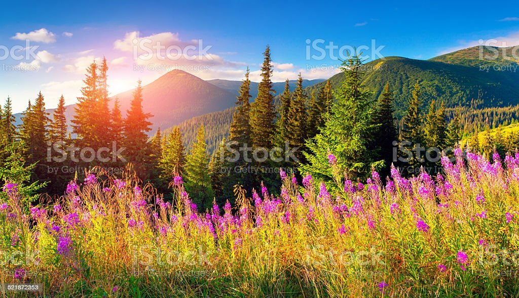 Beautiful summer landscape in the mountains with pink flowers. stock photo