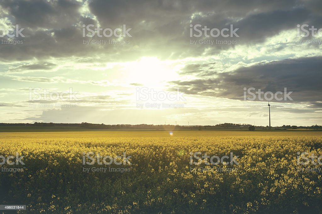 Beautiful summer scene of rapeseed in sunset stock photo