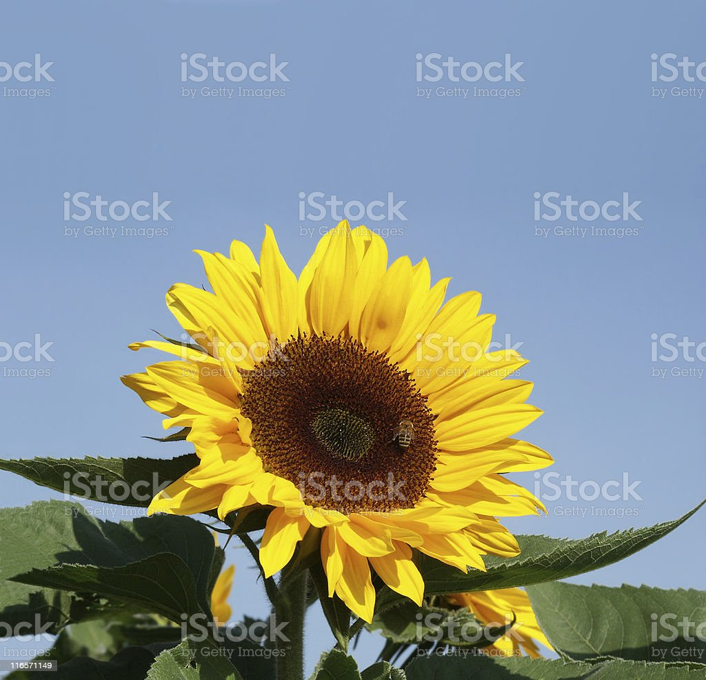 Beautiful sun flower and a bee royalty-free stock photo