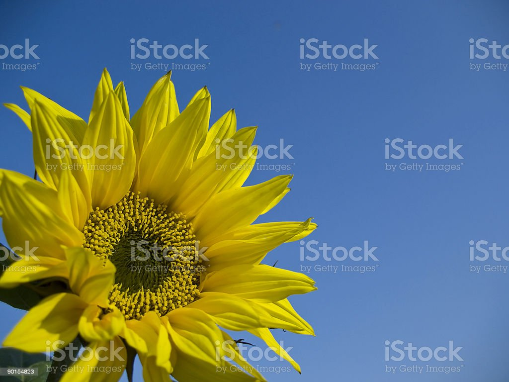 Beautiful sunflower against blue sky royalty-free stock photo
