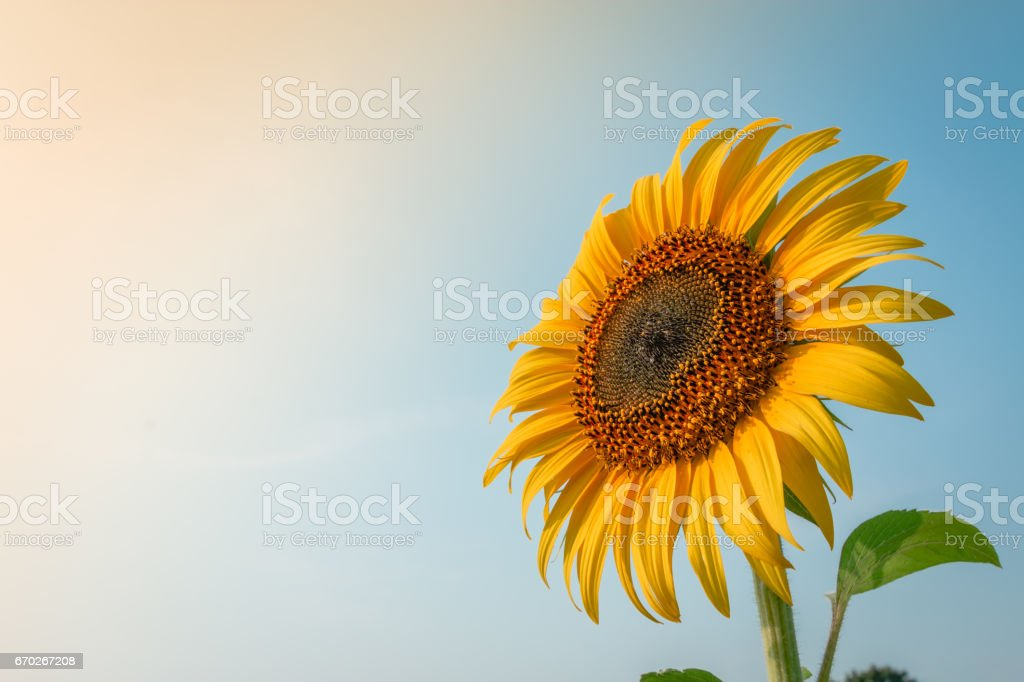 Beautiful sunflower and sun light form top left. stock photo
