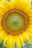 beautiful sunflower and warm sunflower closeup