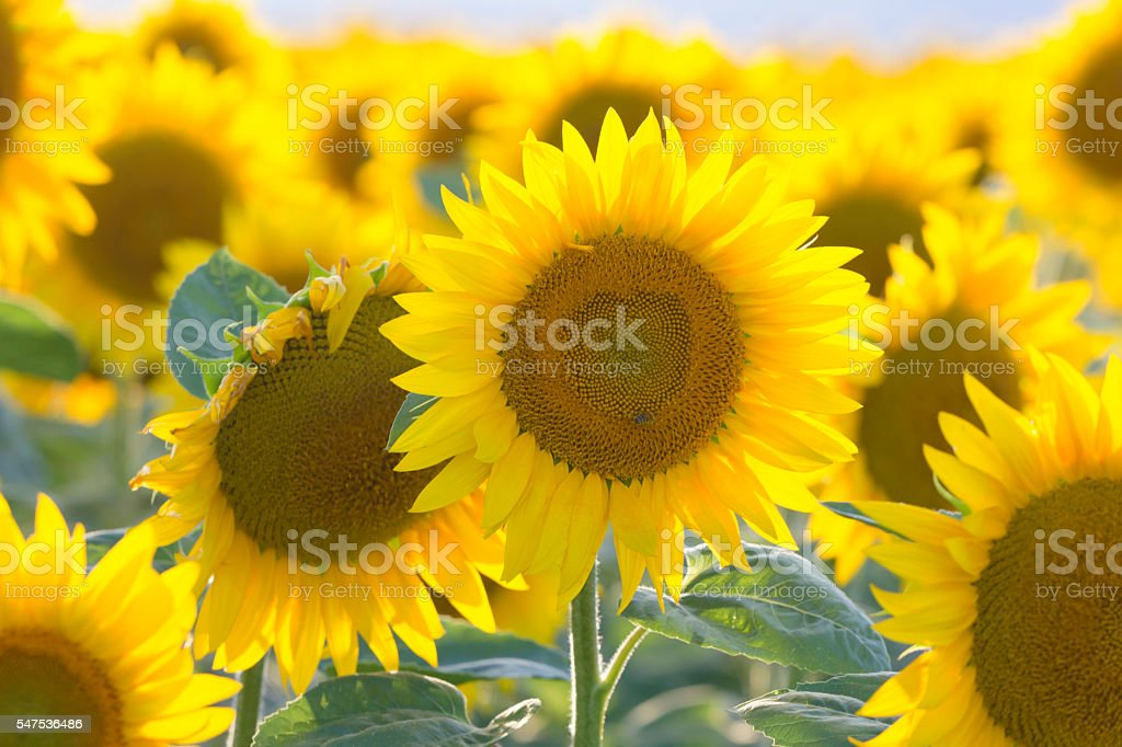 Beautiful sunflower in the field close up stock photo