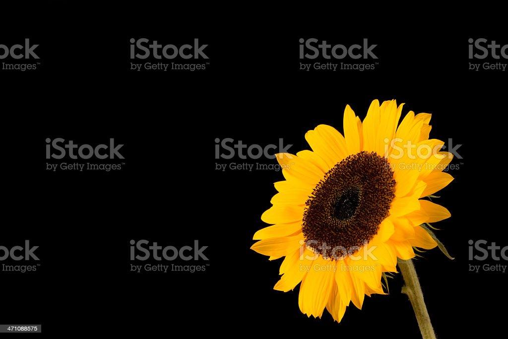 Beautiful sunflower isolated on black royalty-free stock photo