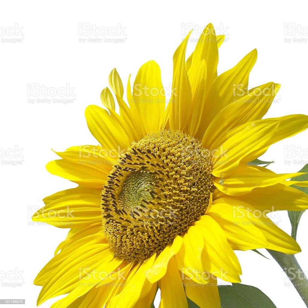 Beautiful sunflower isolated on white background royalty-free stock photo