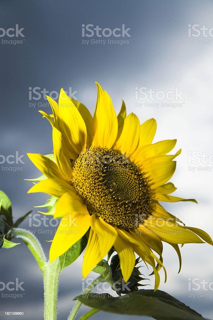 Beautiful Sunflower royalty-free stock photo