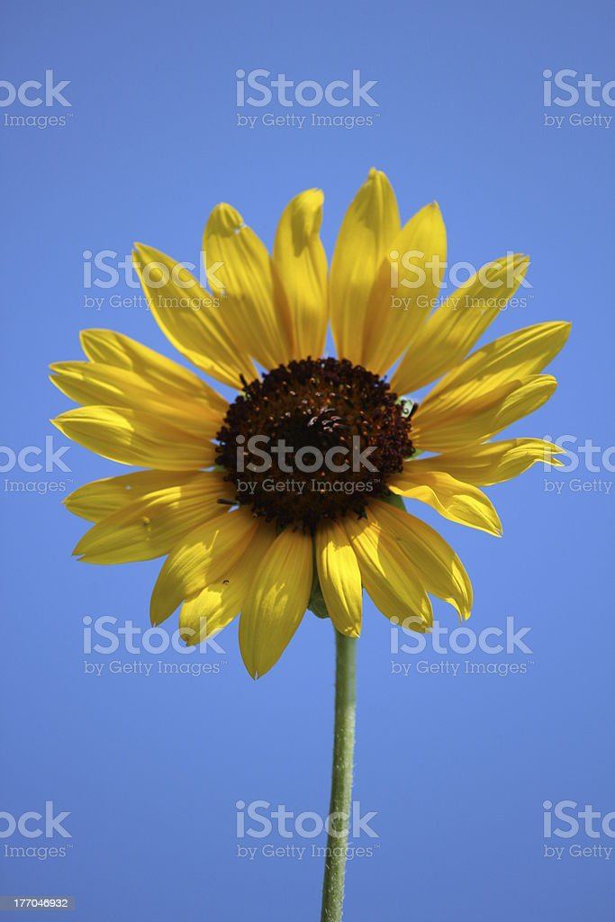 Beautiful sunflower with blue sky royalty-free stock photo