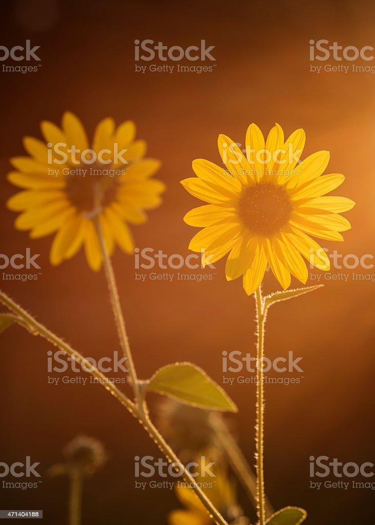 Beautiful sunflowers against setting sun stock photo