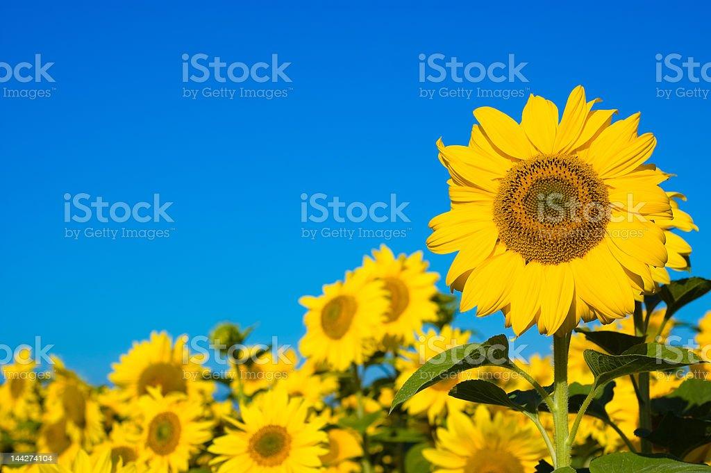 beautiful sunflowers stock photo