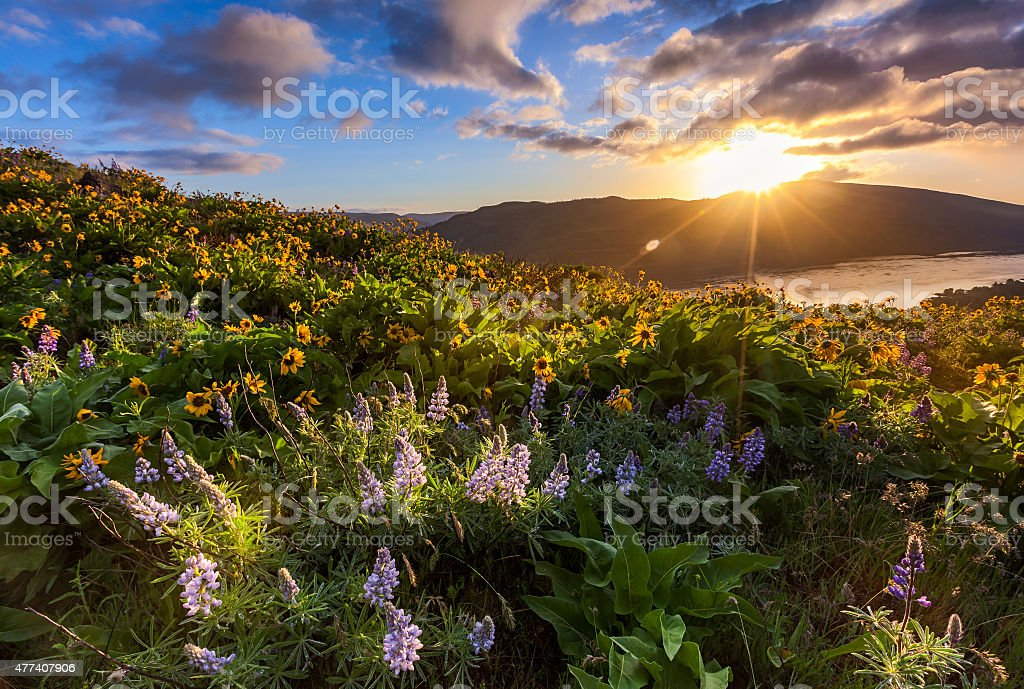 beautiful sunrise and wildflowers at rowena crest viewpoint, Oregon stock photo