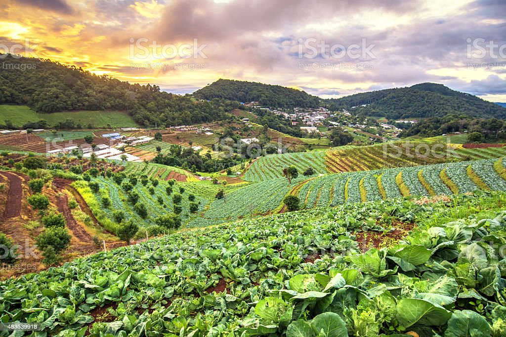 Beautiful sunrise view at cabbage field in mon jam mountain stock photo