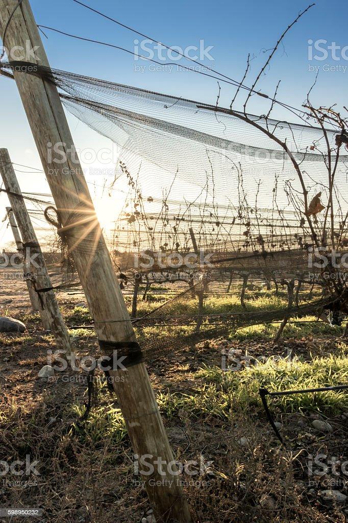 Beautiful sunset among vineyard stock photo