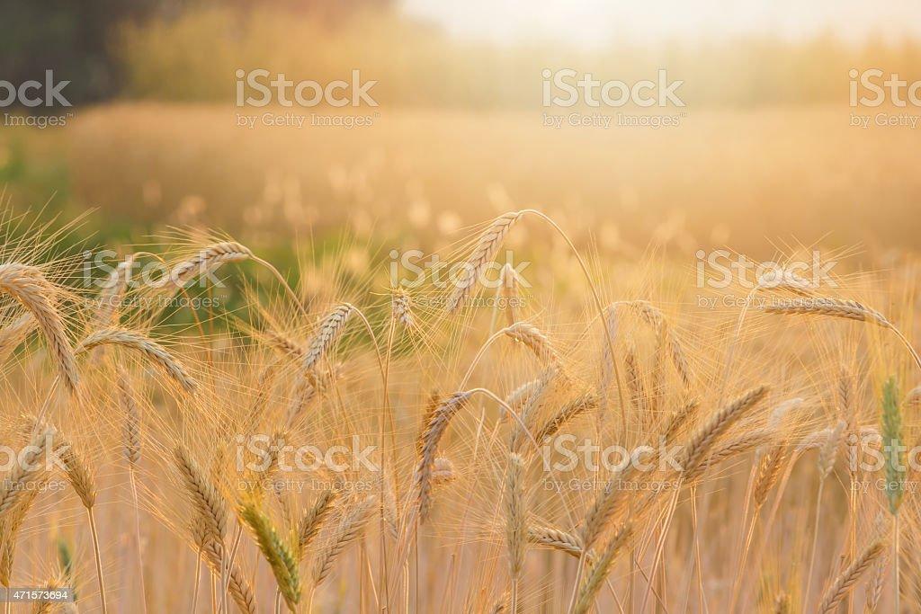 Beautiful sunset at Bale fields royalty-free stock photo