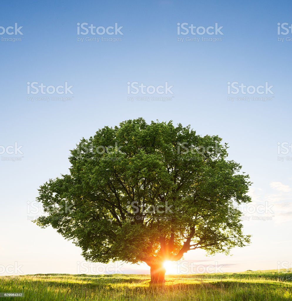 Beautiful sunset behind tree in green field stock photo