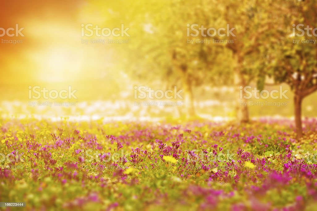 Beautiful sunset on floral field royalty-free stock photo