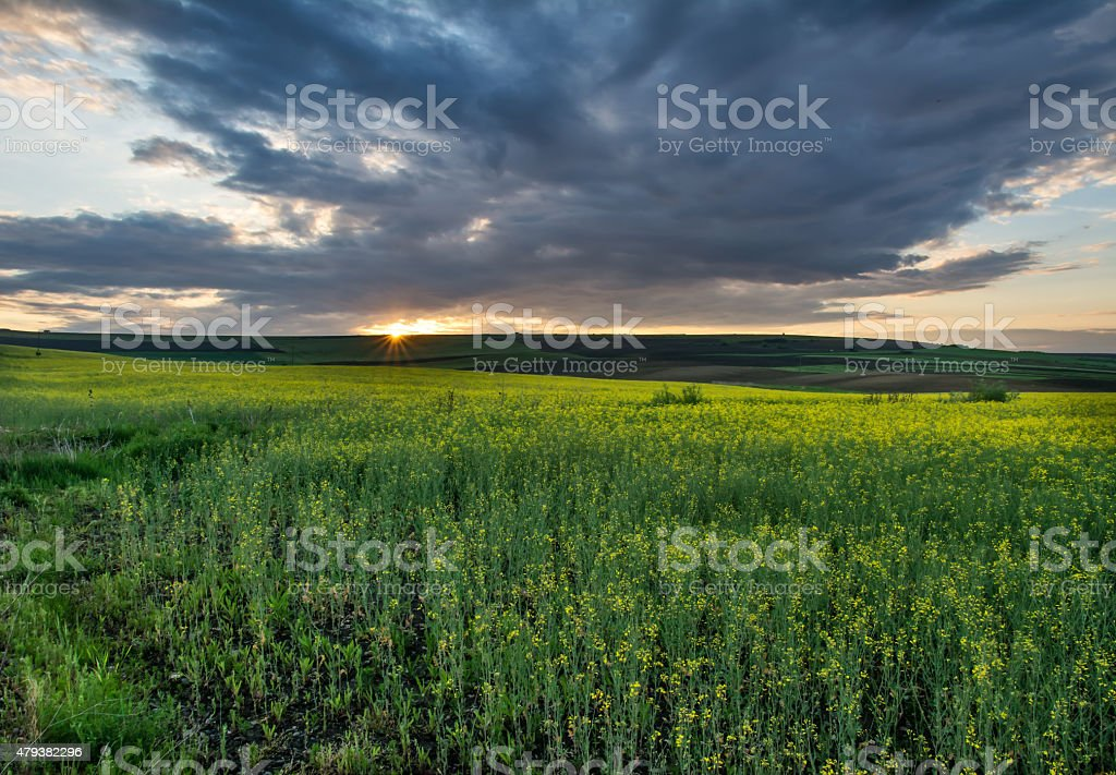 Beautiful sunset over a bright yellow canola field stock photo