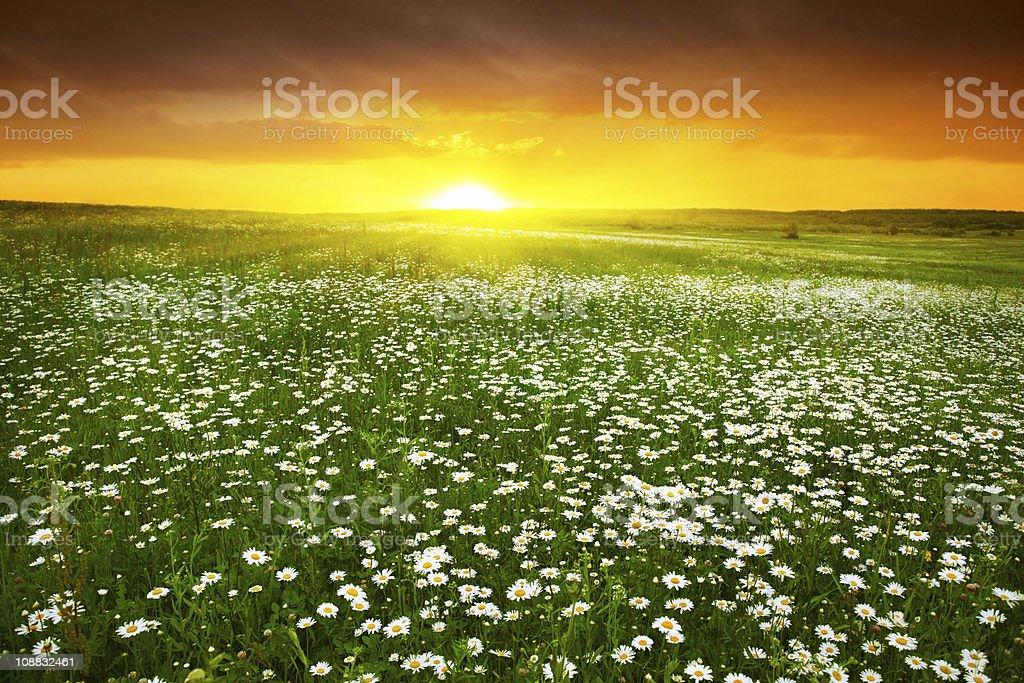 Beautiful sunset over daisy field. royalty-free stock photo