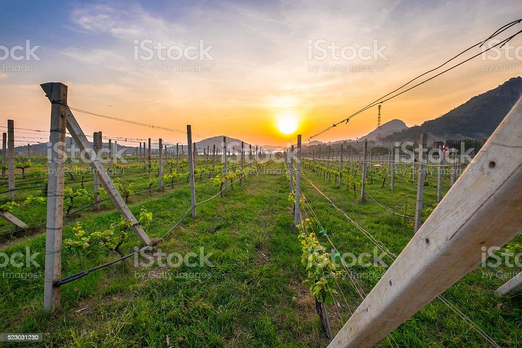 Beautiful Sunset over Vineyard stock photo