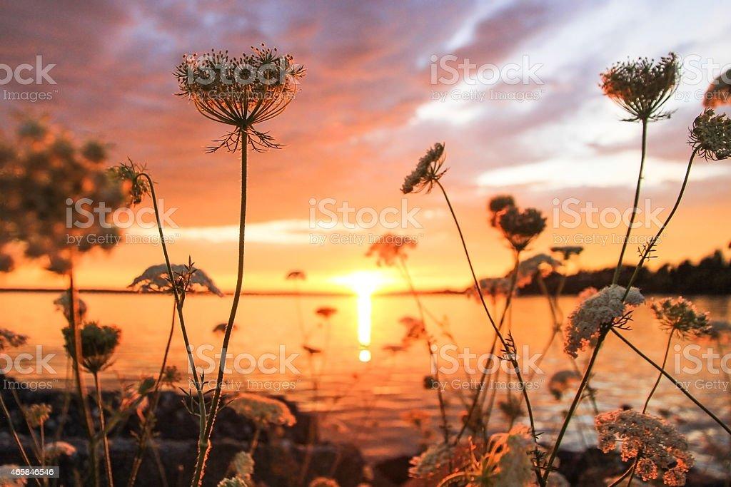 Beautiful Sunset through the flowers stock photo
