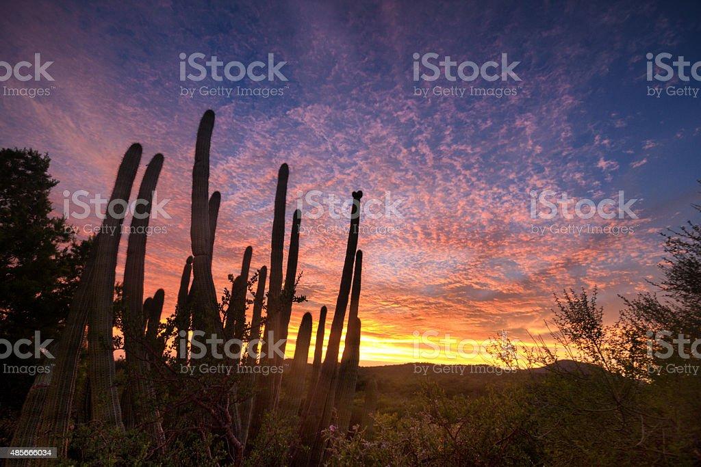 Beautiful Sunset with Saguaro Cactus in the Sonoran Desert stock photo