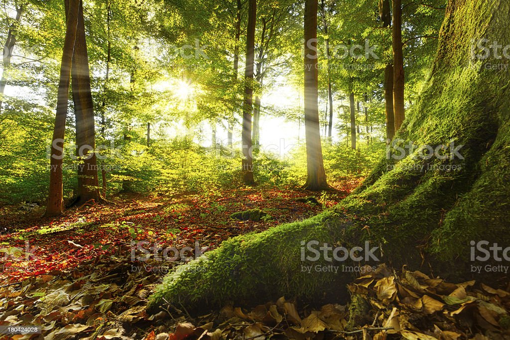 Beautiful sunshine penetrating through into quiet forest stock photo