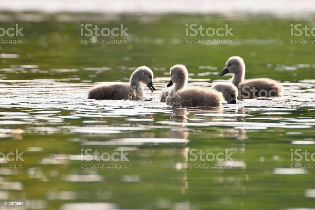 Beautiful swan cubs at the pond. Beautiful natural colored background. stock photo