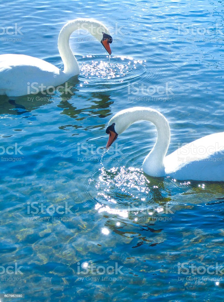 Beautiful swan in the lake in sunny spring day outside stock photo