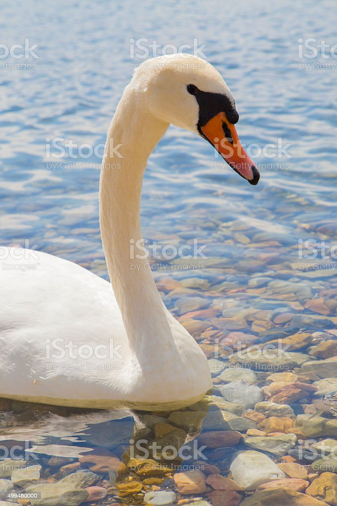 Beautiful swan swiming on a lake royalty-free stock photo