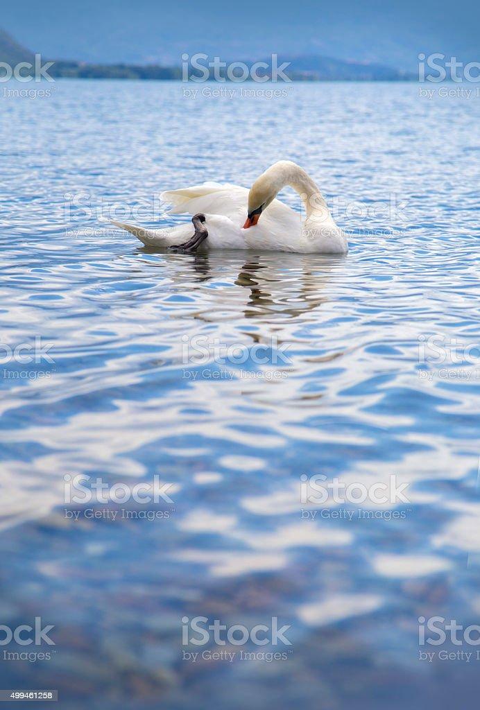 Beautiful swan swiming on a lake royalty-free stock photo