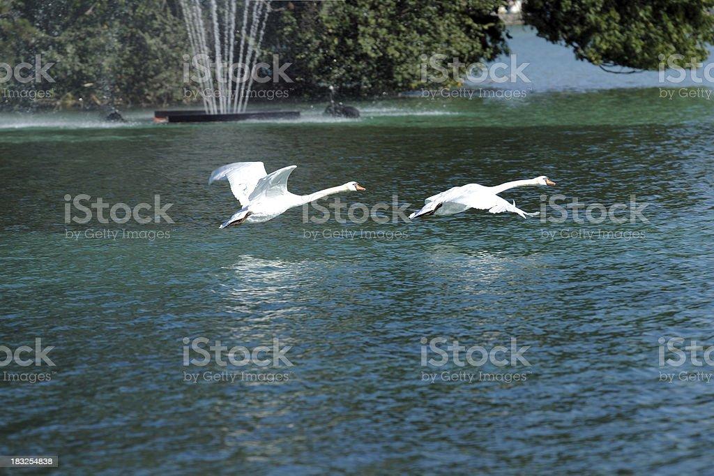 Beautiful Swans Flying Over The Lake - XLarge stock photo