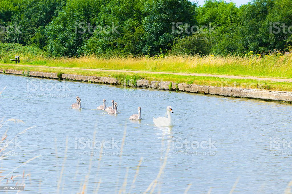 Beautiful swans in water, Milton Keynes stock photo