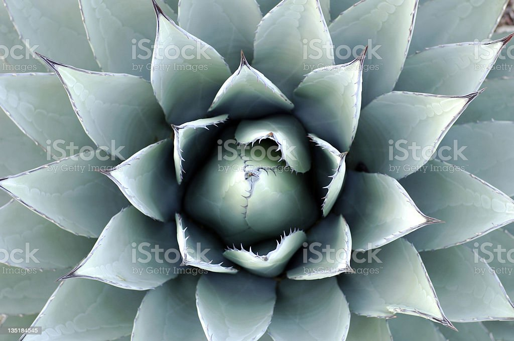 A beautiful teal-like plant called the Agave Parryi stock photo