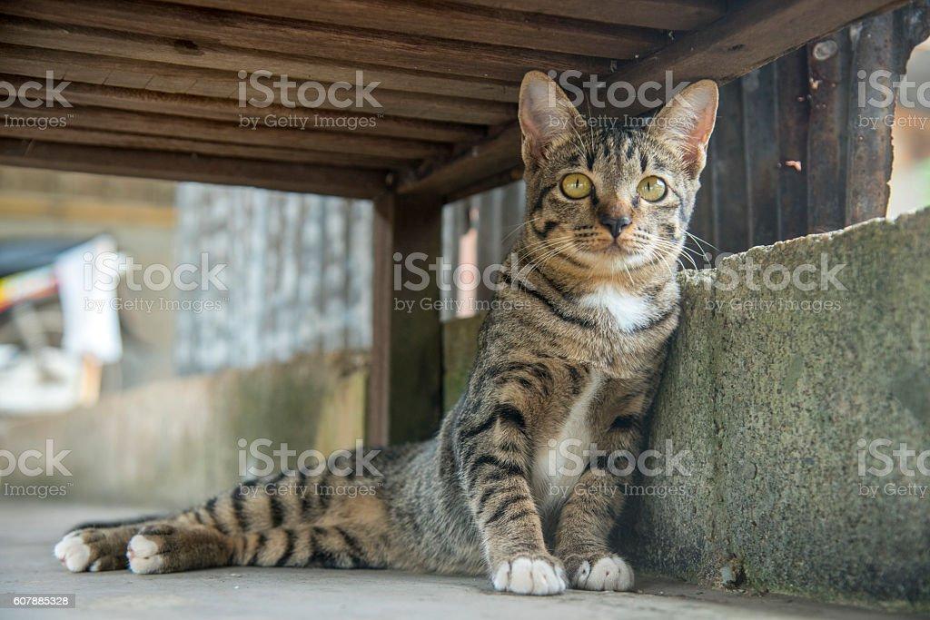 Beau Thai chat photo libre de droits